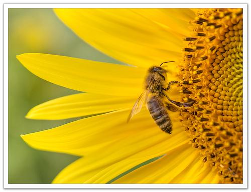 L'abeille au boulot