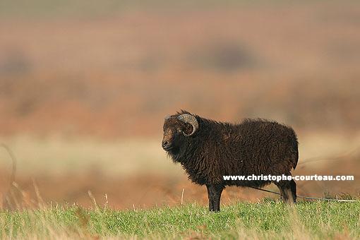 Mouton noir d'Ouessan
